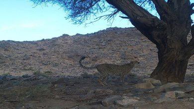 Photo of اختفى منذ 18 عاما.. الفهد الصحراوي المهدّد بالانقراض يظهر في الجزائر