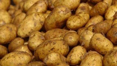 "Photo of مردود ""قياسي"" لمحصول البطاطا في مستغانم"