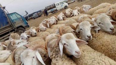 Photo of رغم الإقبال الضعيف بسبب قلة الأسواق… الكورونا، السماسرة والجفاف يلهبون سعر الأضاحي