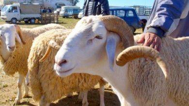 Photo of عماري… شهادات صحية ومرافقة أمنية لتأمين أسواق الماشية تحسبا لعيد الأضحى المبارك