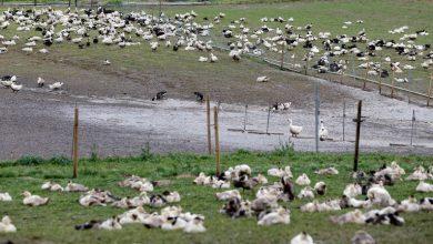 Photo of فيروس إنفلونزا الطيور يتفشي بسرعة خيالية في فرنسا..إعدام 400 ألف بطة