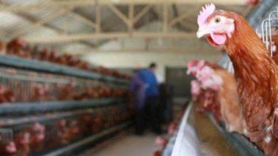 Photo of نفوق 50 ألف طائر في مزرعة بمدينة عين فكرون…الجزائر تسجّل بؤرة لسلالة إنفلونزا الطيور