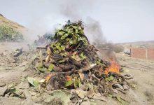 Photo of حشرة غريبةوسط حقول التين الشوكي بالمدن الحدودية تثير الرعبوسط السكان