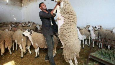 Photo of أسعار المواشي مُرشحة للالتهاب أياما قبل عيد الأضحى